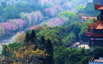福州:春意盎然 满城遍开羊蹄甲