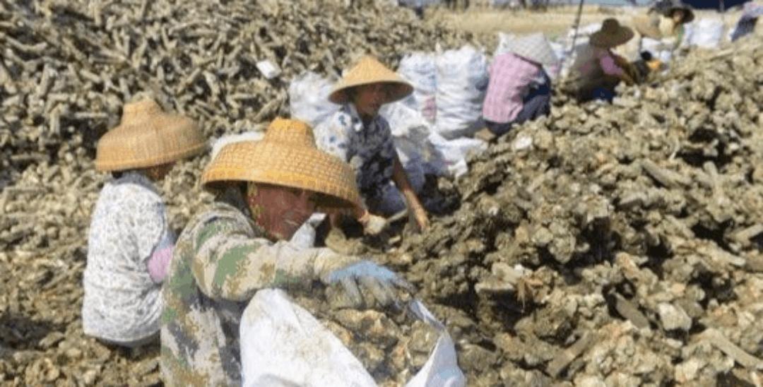 湛江万亩蚝场开挖 深圳客一买就是600斤