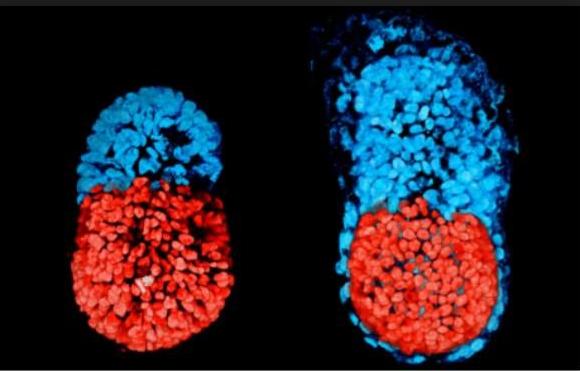 """揭开生命起源的谜题 人造胚胎将终结""""性的使命""""?"""