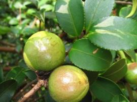 苏仙区大力发展油茶产业,预计增收3亿元