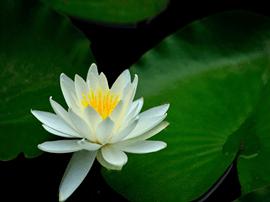 福州西湖国庆期间将展出百种荷花睡莲