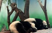 传大熊猫被拖拽 基地回应