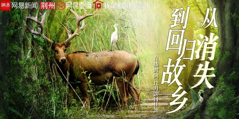 """中国麋鹿:从""""消失""""到回归故乡"""