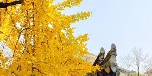 永嘉这棵400多年的银杏古树 太美了!