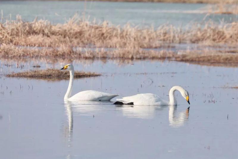 阿克齐湿地 :候鸟迁徙惬意美丽的驿站