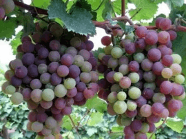清徐开启葡萄文化旅游季 将持续至10月中旬