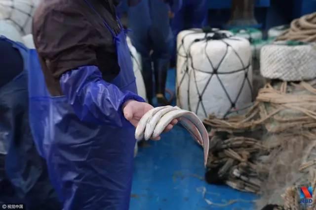 刀鱼一斤超6000元仍有食客 有人一季赚了30万