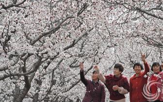 春暖花开正当时 郊外踏青赏杏花