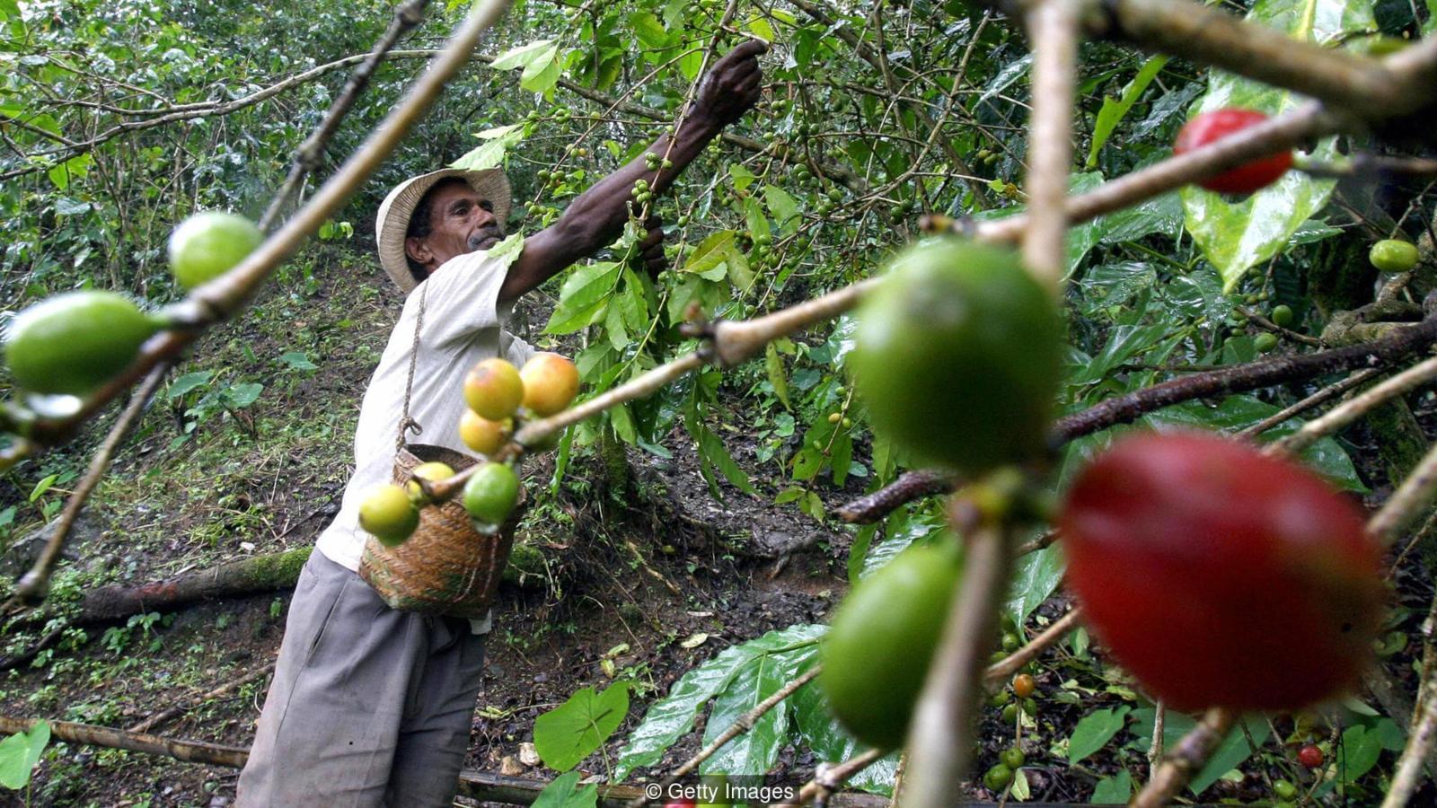 树叶变黄 能力失效:科学家在竭力对抗一种咖啡疾病