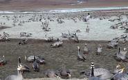 斑头雁在长江源数量增一倍