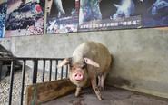 """汶川地震""""猪坚强""""专人伺候"""