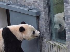 海归大熊猫闭关1月听懂四川话 能吃能睡胖4斤