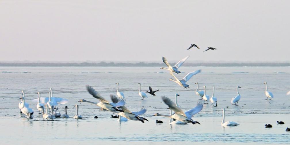 塔河生态向好吸引野生鸟类越冬