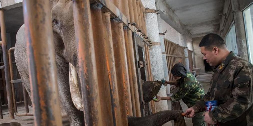 太原动物园为大象洗脚美甲迎新年