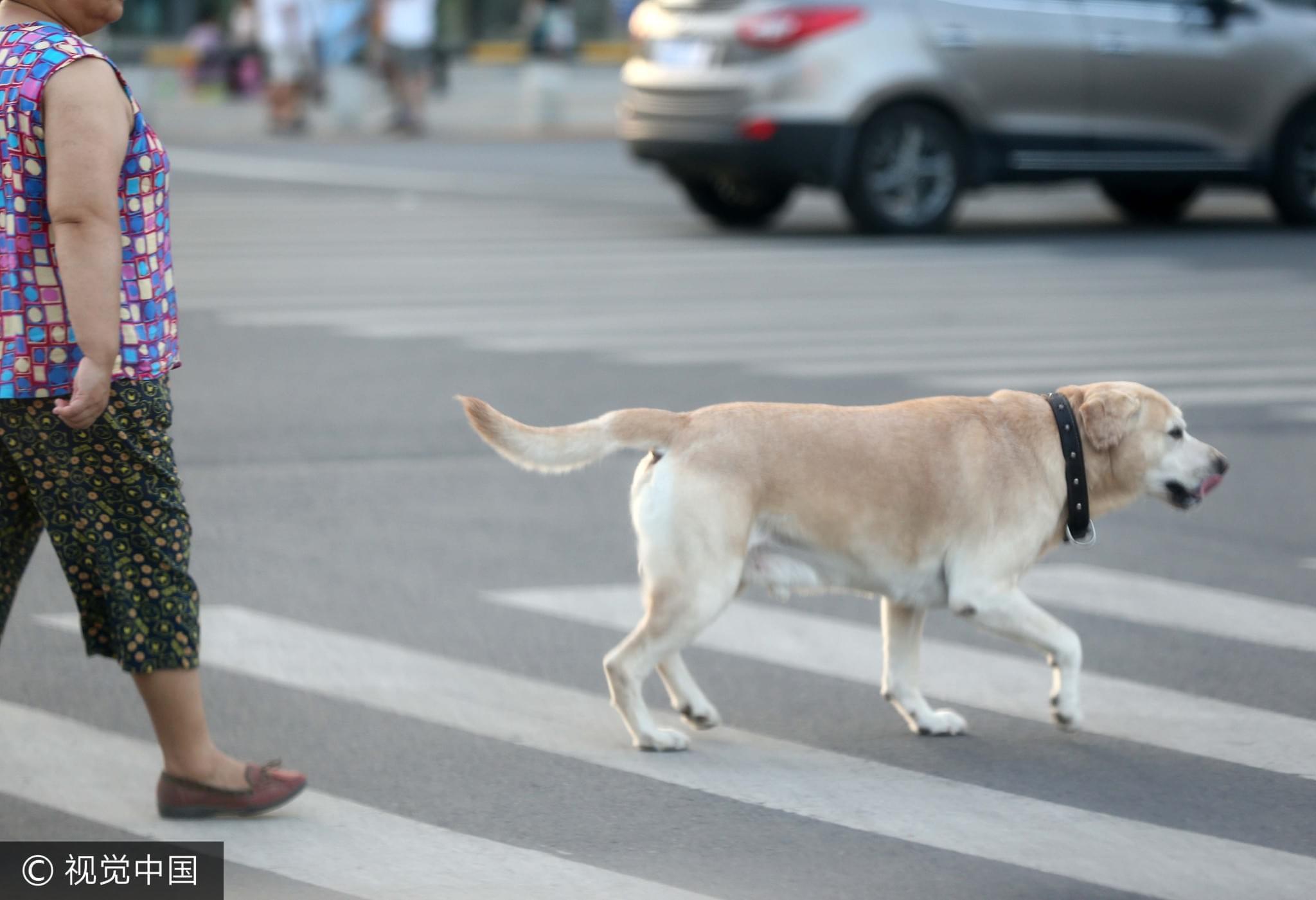 2017年7月30日,西安。很多主人没有给宠物狗牵狗绳的习惯,让路人很没有安全感/视觉中国