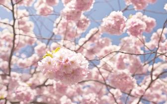 又到一年赏樱季!赤壁提前安排赏樱工作