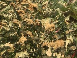运城陶村葡萄园被喷洒百草枯毁坏