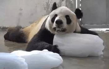 熊猫都热到成精…下周依旧热,佛山人我们去避暑吧!
