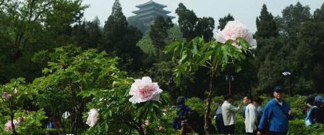 【北京 北京】谷雨时节,最美牡丹在景山