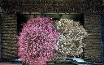 冬日里的暖色调 福州千年古刹梅花盛开