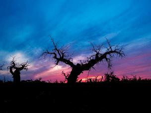 神秘的怪树林,却是挺立千年的生命史诗