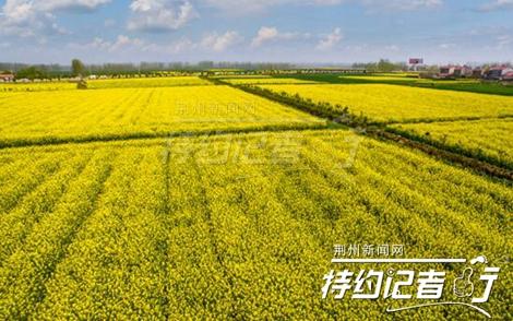 """空中俯瞰荆州油菜花海的美丽全貌 才算""""不负春光"""""""