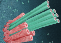 """细菌自带""""弹簧匕首"""":内部刺穿阿米巴虫避免被消"""
