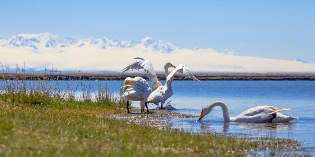 大天鹅做客新疆哈巴河草原