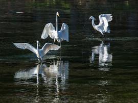 """运城:""""飞鸟美人""""做客河津湿地"""