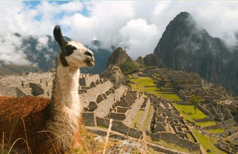 秘鲁马丘比丘的羊驼