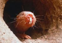 """不患癌症 精子奇差却完美繁衍:裸鼹鼠""""不会衰老"""""""
