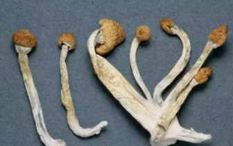 """乐队成员乘火车被抓,竟不知这种""""蘑菇""""是毒品"""