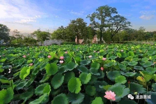 初夏惠州不可错过的赏荷圣地,第一眼就惊艳了!