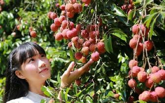 灵山荔枝文化旅游节 向您发来一份邀请函
