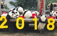 17只新生熊猫宝宝集体拜年