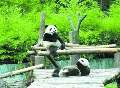 四川将在大熊猫国家公园区内建设大熊猫走廊带