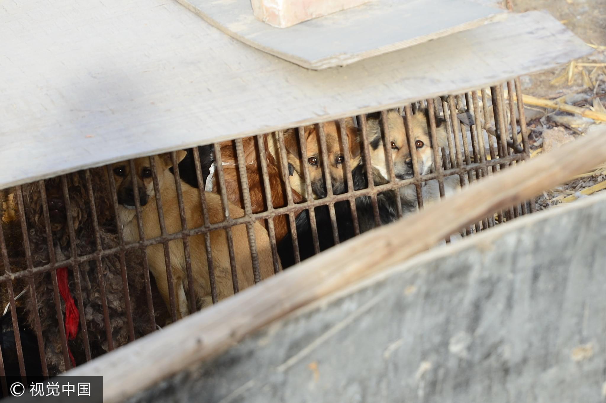 2016年12月07日,银川贺兰一个非法屠宰狗肉窝点。狗们挤在狭小的笼子里/视觉中国