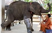 假肢让残疾动物获新生