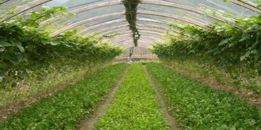 镇罗镇设施蔬菜扩规增效开拓致富路