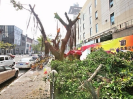 万象城停车场7棵大树被截顶 台江园林已介入调查