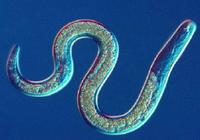 这种虫子有三个性别,打破遗传定律可以自我繁殖