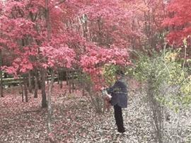长春南湖公园枫叶正红被摘走 市民觉得很可惜