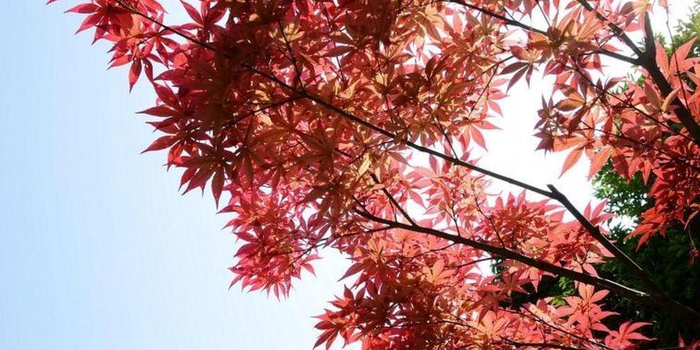 绛县:农民种18万株红枫 收获财富与美景