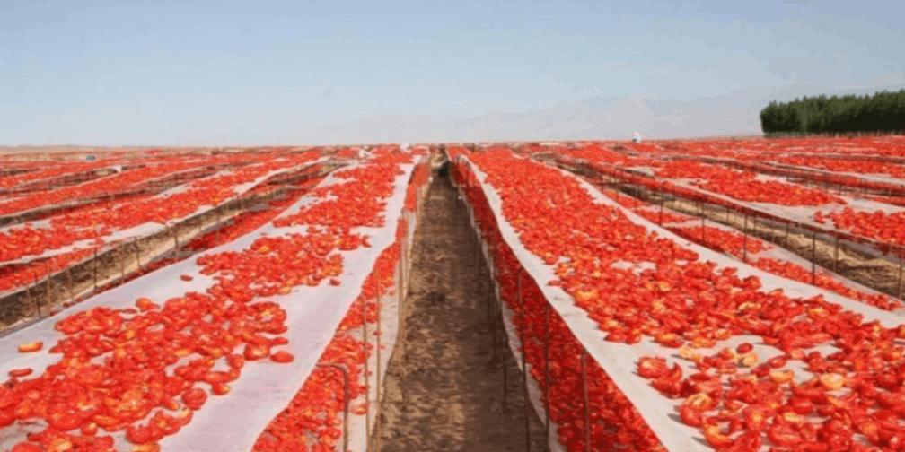 一大片红海!新疆7万亩番茄熟了