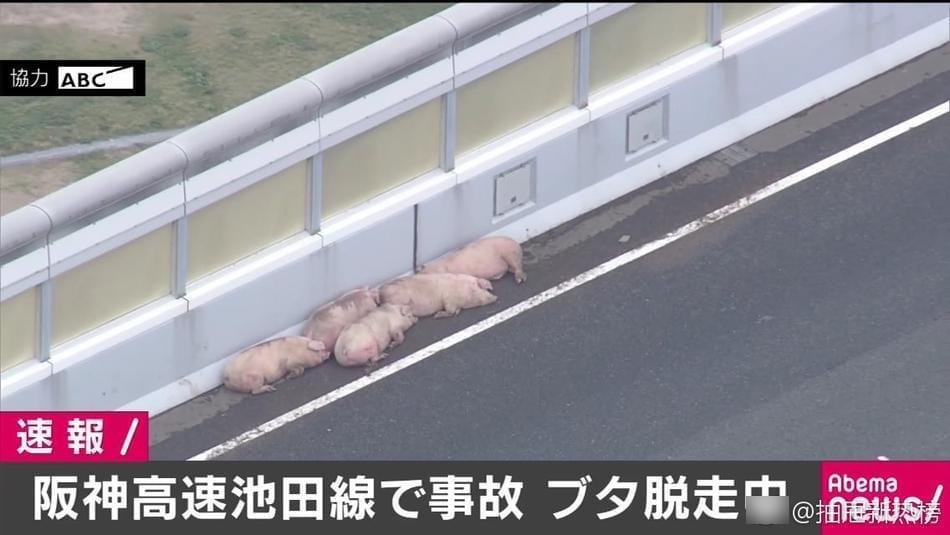 19头猪车祸中逃走 在高速上走着走着睡着了