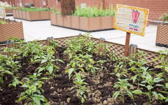 莞城这所学校在楼顶种菜 学生再也不用担心农药超标