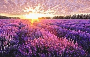 霍城薰衣草的浪漫 惊艳了世界