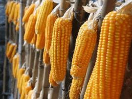 这两个月 18种转基因农产品获中国进口许可