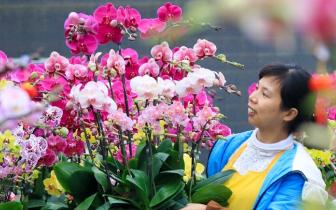 漳州蝴蝶兰:迎春初盛放