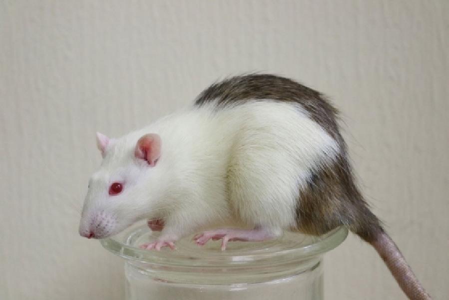 源自人体细胞的肠道成功移植给大鼠 可传输营养